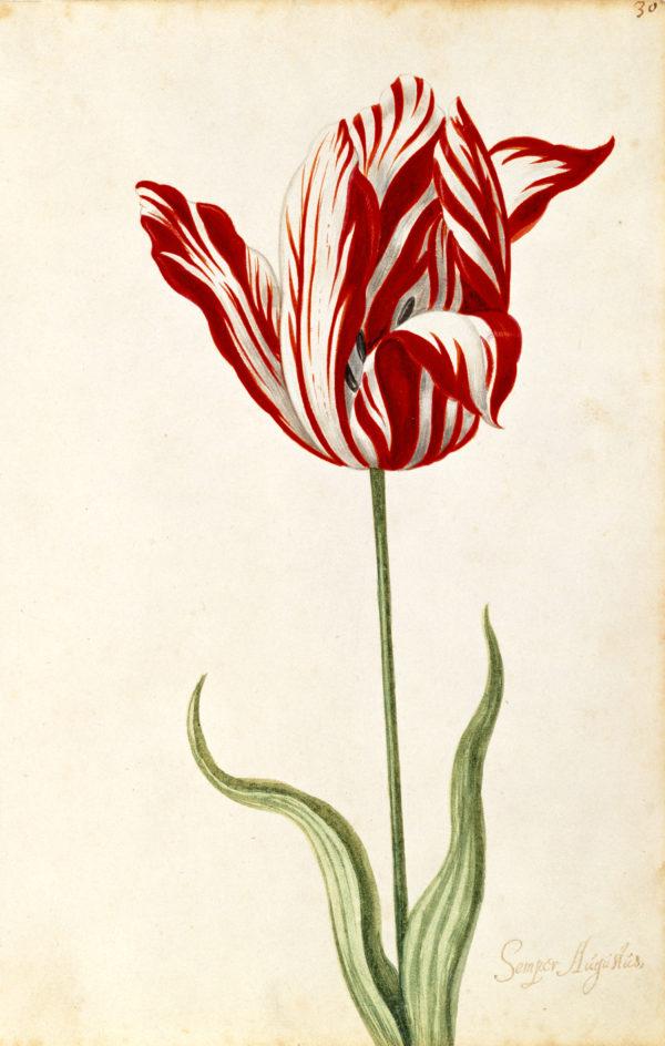 """Great Tulip Book: Semper Augustus"" Archival Digital Print (11"" x 14"" mat)-0"
