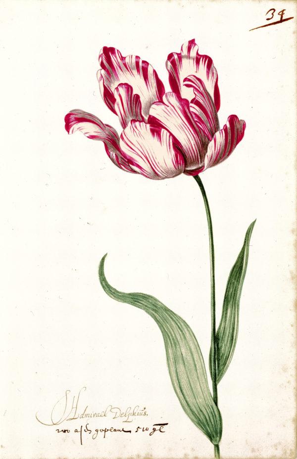 """""""Great Tulip Book: Admirael Delphius"""" Archival Digital Print (11"""" x 14"""" mat)-0"""