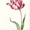 """""""Great Tulip Book: Admirael Delphius"""" Archival Digital Print (16"""" x 20"""" mat) -0"""