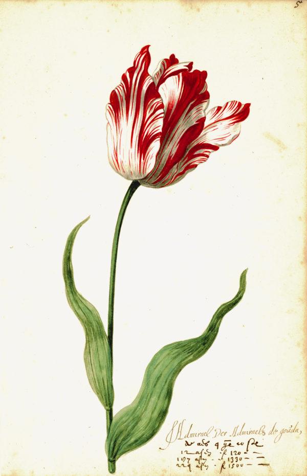 """Great Tulip Book: Admirael De Gouda"" Archival Digital Print (11"" x 14"" mat)-0"