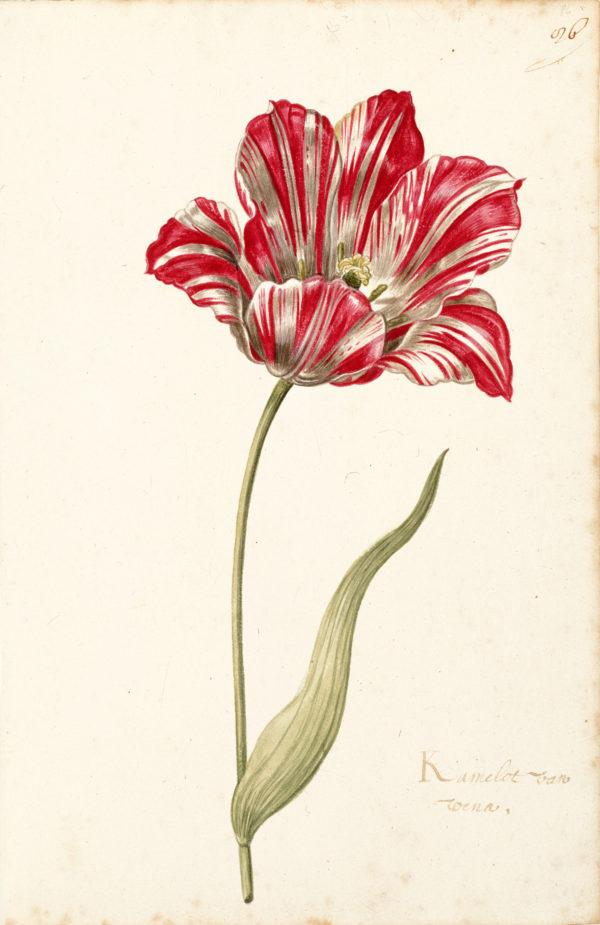 """""""Great Tulip Book: Kamelot Van Weena"""" Archival Digital Print (11"""" x 14"""" mat)-0"""