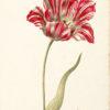 """""""Great Tulip Book: Kamelot Van Weena"""" Archival Digital Print (16"""" x 20"""" mat) -0"""