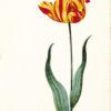 """Great Tulip Book: Root en Geel"" Archival Digital Print (11"" x 14"" mat)-0"