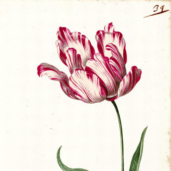 """""""Great Tulip Book: Admirael Delphius"""" Paperweight -0"""
